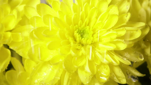 drops of rain fall on the flower from above slow motion - pistillo video stock e b–roll