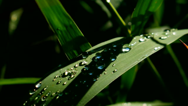 Drops of water on a sheet of reeds. video