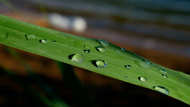 drops of water on a sheet of reeds. - тростник стоковые видео и кадры b-roll