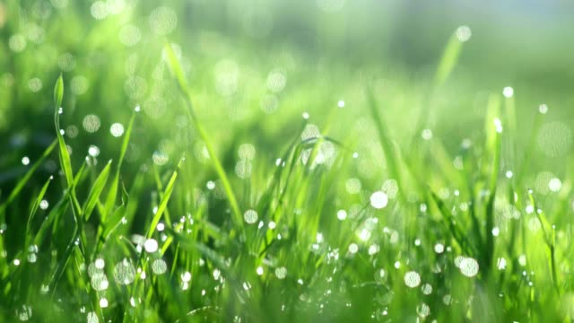 Drops of water on the grass. Morning dew. Blurred Background Drops of water on the grass. Morning dew. Blurred Background focus on foreground stock videos & royalty-free footage