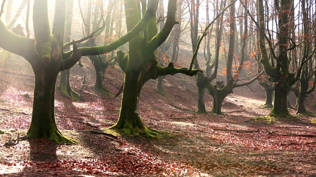 Drops Water Coming from Beech Forest in Autumn video