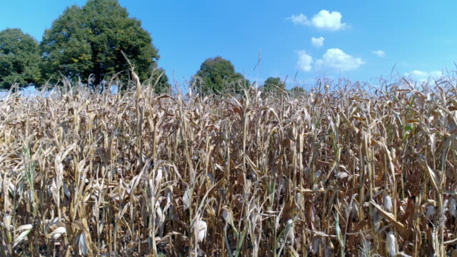 Dürre betroffenen Kornfeld im Sommer – Video