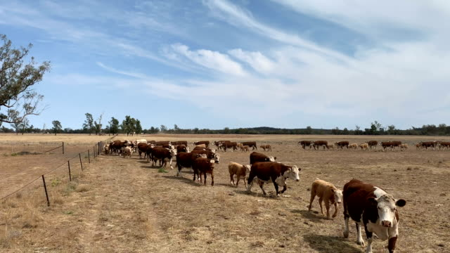 Drought affected farm land and Hereford cattle Hereford cattle moving in rural NSW Australia in sever drought paddock stock videos & royalty-free footage