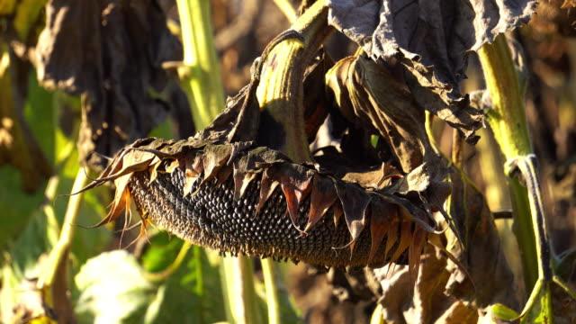 drought sunflower field - sunflower стоковые видео и кадры b-roll