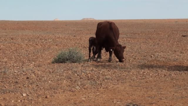 Drought Cattle trying to find feed in outback New South Wales, Australia during a drought. dry stock videos & royalty-free footage