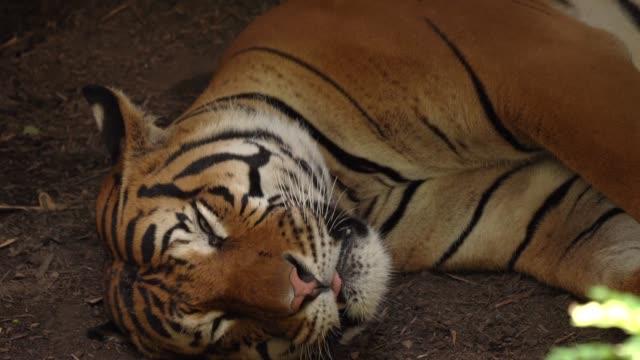 drowsy tiger falling asleep on jungle floor closeup video