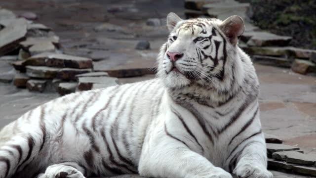 Drowsy young bengal tiger, lying on the stone pavement. video