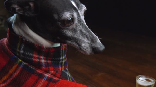 drunk italian greyhound dog drinks beer and throws the glass