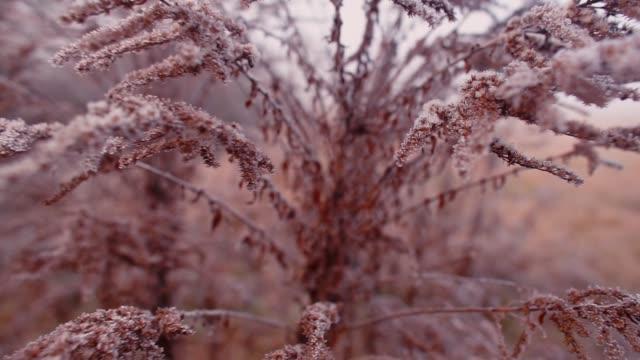 乾燥的秋天植物在城市公園的第一次霜凍。 - golden ratio 個影片檔及 b 捲影像