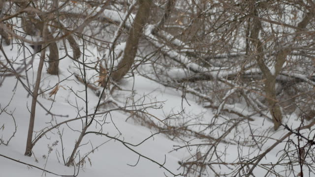 dry branches there is heavy snow in the snow of trees tops winter a forest in Russia outdoors the nature landscape - vídeo