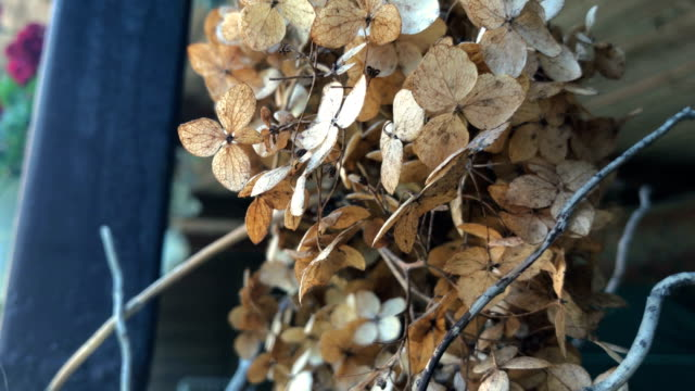 dry Brown inflorescences on the street video