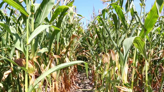 HD: Dry corn field video