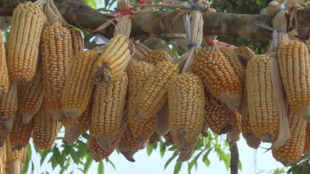 Dry Corn Hang On Tree