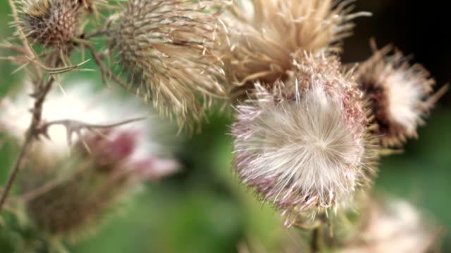 ドライフラワーアザミの花 - こっそり点の映像素材/bロール