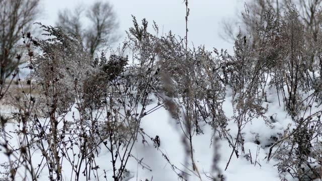 vidéos et rushes de herbe sèche en nature paysage de neige hiver - prise avec un appareil mobile