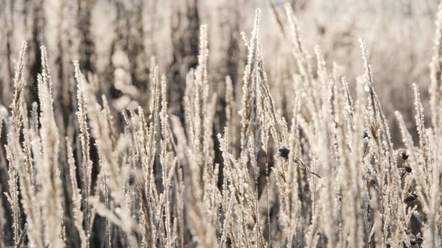 雪の中で草を乾燥させます。に対して雪に包まれて乾いた草の穂。 - 雪点の映像素材/bロール