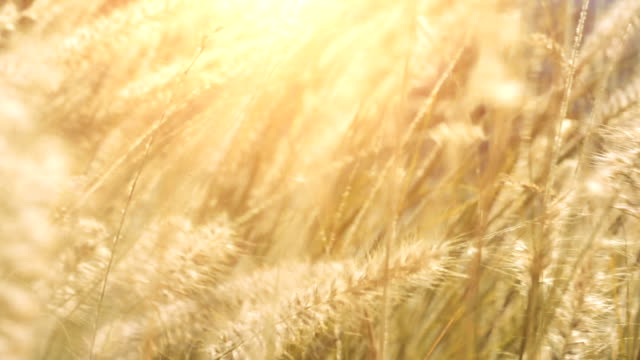 Dry grass sways in the wind in sunlights video