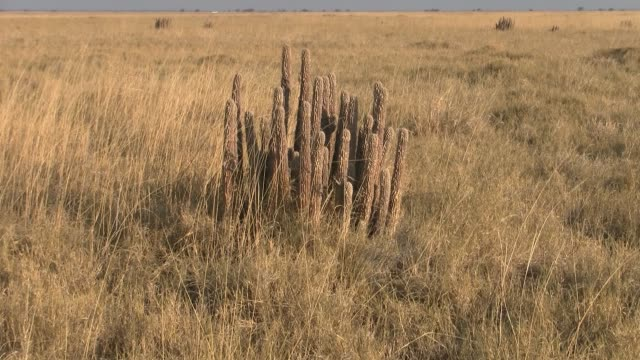 Dry Hoodia Plant in the Dry Savanna in the Makgadikgadi Pan, Botswana Dry, Yellow Hoodia Plant in the Dry Golden Savanna in the Makgadikgadi Pan National Park, Botswana makgadikgadi pans national park stock videos & royalty-free footage