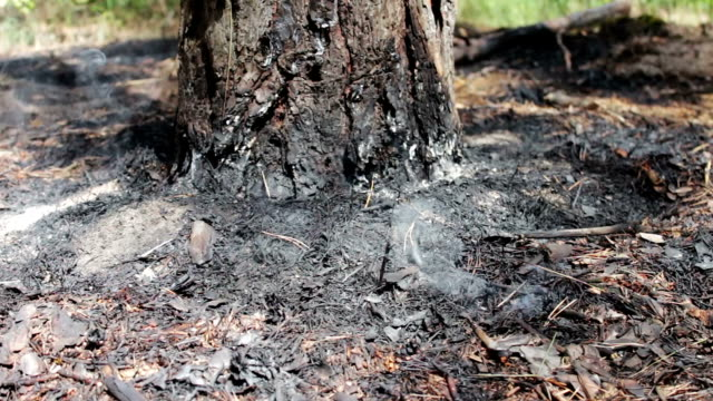 Dry leaves and needles smoke under tree in the forest. Threat of forest fire video