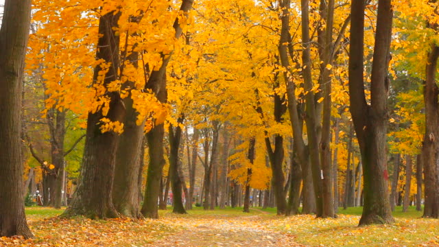 dry leaves falling from the trees in autumn video