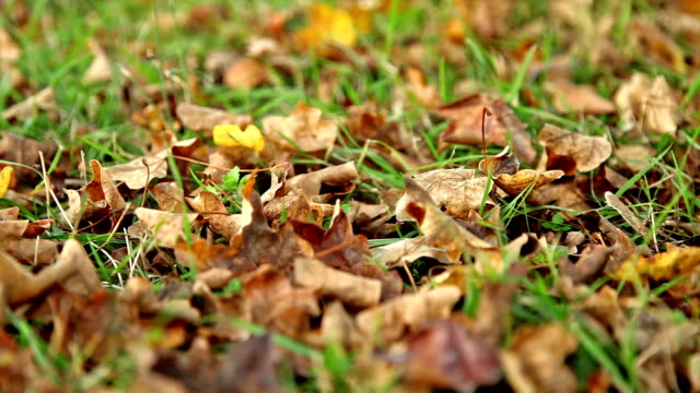Dry leaves on the green grass, close dolly