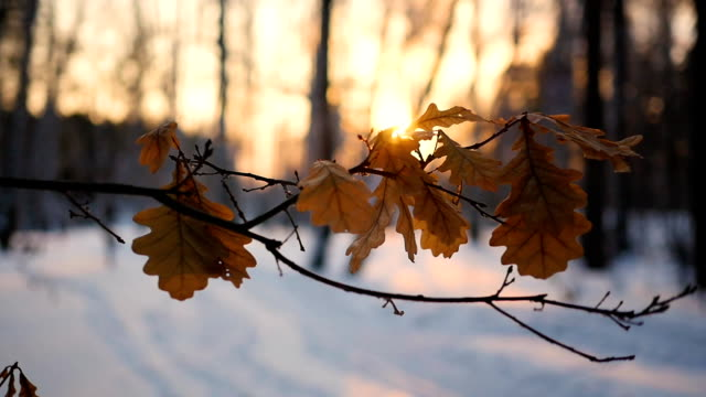 dry oak leaves on the tree in winter landscape at sunset video