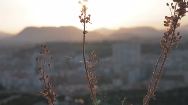 Dry plant against the city and sunset