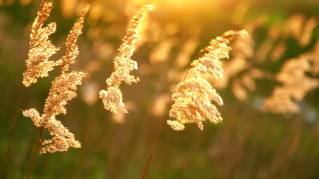 dry reeds in the wind - schilf stock-videos und b-roll-filmmaterial