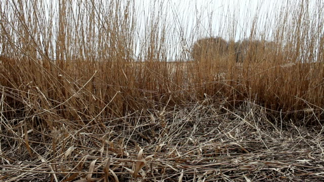 dry reeds in the wind - rohrblattinstrument stock-videos und b-roll-filmmaterial
