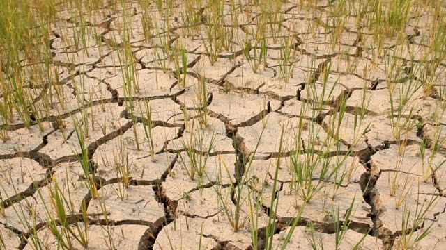 Dry rice field no water in farm video