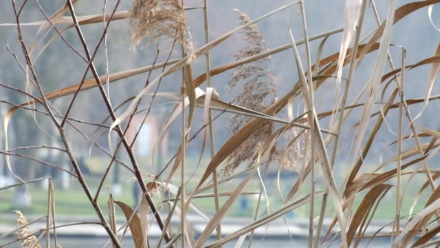 Dry sedge swayed slightly from the wind video