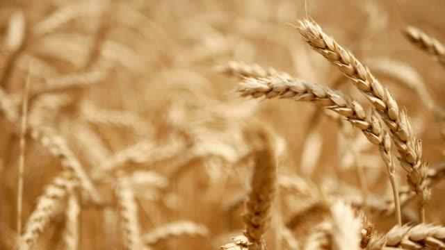 stockvideo's en b-roll-footage met droge gele tarwe in het veld in de zomer klaar om te maaien - wheat field