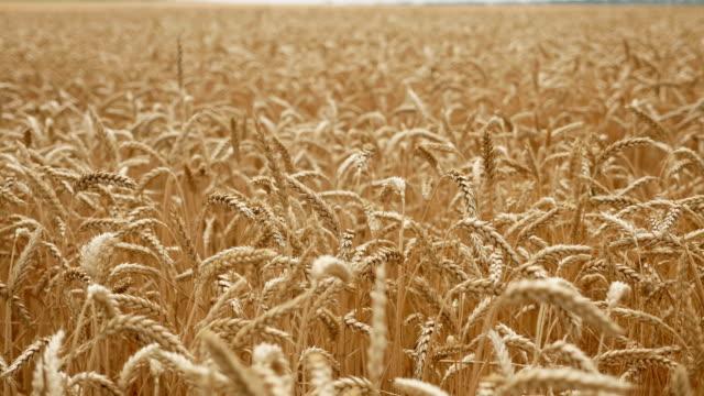 yaz aylarında tarlada kuru sarı buğday biçme için hazır - çavdar stok videoları ve detay görüntü çekimi