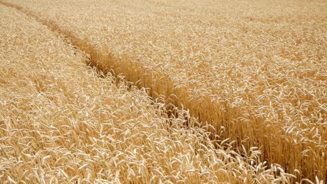 stockvideo's en b-roll-footage met droge gele tarwe in het veld in de zomer klaar om te maaien - stro