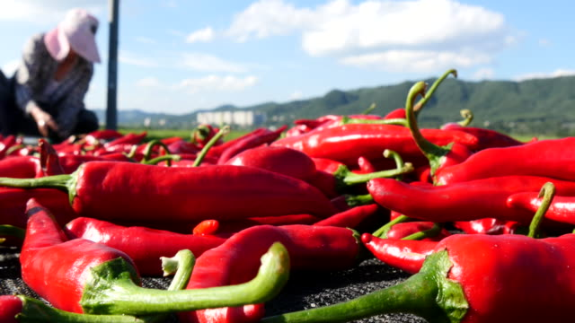 drying chili peppers at a farm in south korea - peperoncino video stock e b–roll