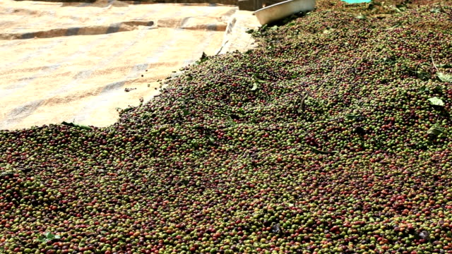 drying coffee beans in the sun - coffee farmer video stock e b–roll