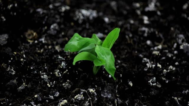 torkning grönt gräs växt tid förfaller, inget regn, inget vatten, inget liv, döende i naturen, torka koncept, global uppvärmning, isolerad på svart, döda vissnade växt, döende växt - utdöd bildbanksvideor och videomaterial från bakom kulisserna