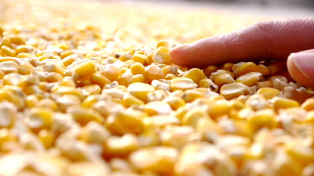Drying of corn in the field.HD1080 video