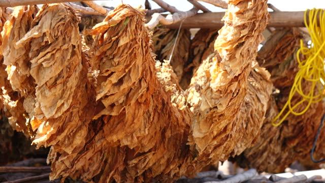 drying tobacco leaf - nicotina video stock e b–roll