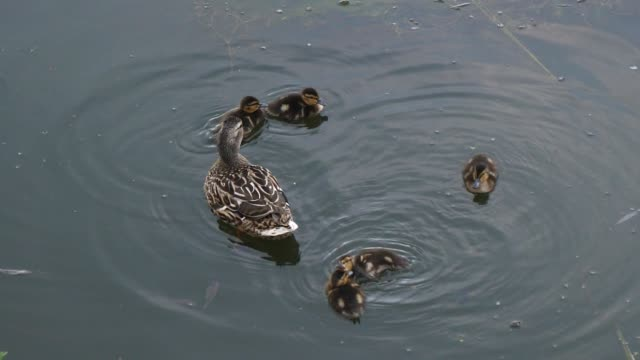 Duck And Ducklings Swimming In The Lake