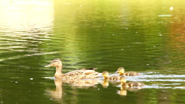 утка и ее утки на озеро - утка водоплавающая птица стоковые видео и кадры b-roll