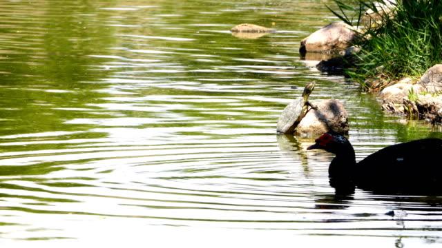 anka och sköld padda nära sjön - platypus bildbanksvideor och videomaterial från bakom kulisserna