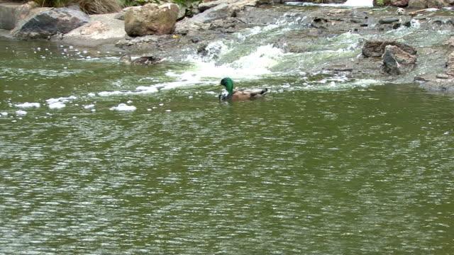duck catches a wave - platypus bildbanksvideor och videomaterial från bakom kulisserna