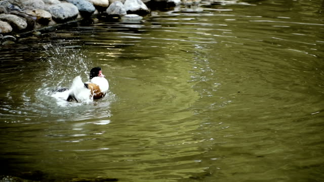 Duck. Duck swims in the lake Duck. Duck swims in the lake animal limb stock videos & royalty-free footage