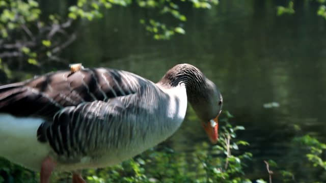 Duck eating a piece of bread and some grass video