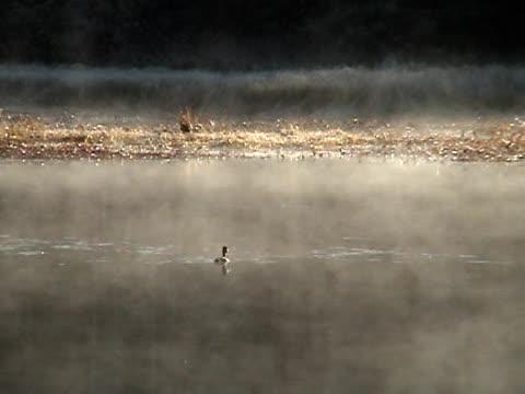anatra fuga - uccello acquatico video stock e b–roll