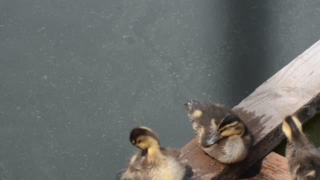Duck family. Duck and ducklings on the pond. Eastern Europe water bird stock videos & royalty-free footage