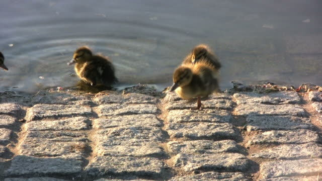 duck family (hd) - djurfamilj bildbanksvideor och videomaterial från bakom kulisserna