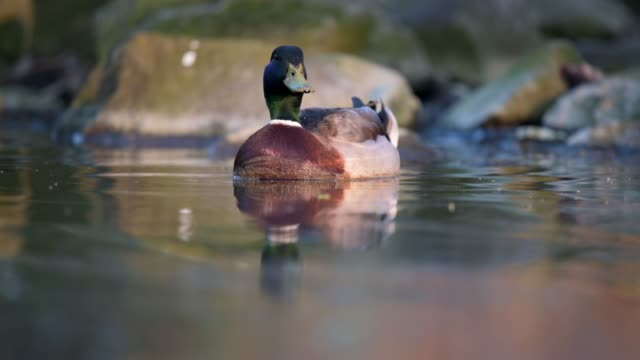 a duck floating on the surface and looking around. close shot of an animal, the water reflects the sun around. - кряква стоковые видео и кадры b-roll