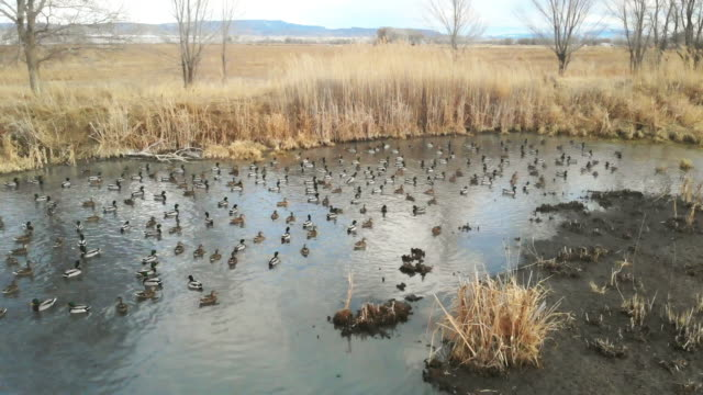 Duck Flocks Feeding and Swimming in Rural Pond Western Colorado Outdoors